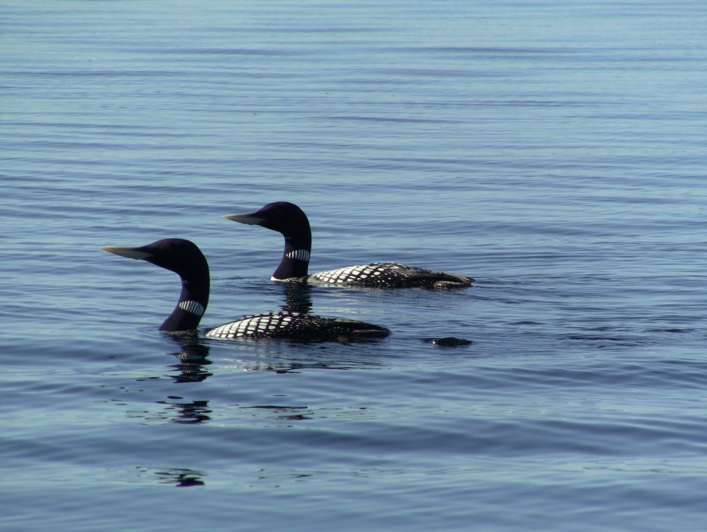 Two Yellow Billed Loons on Point Lake