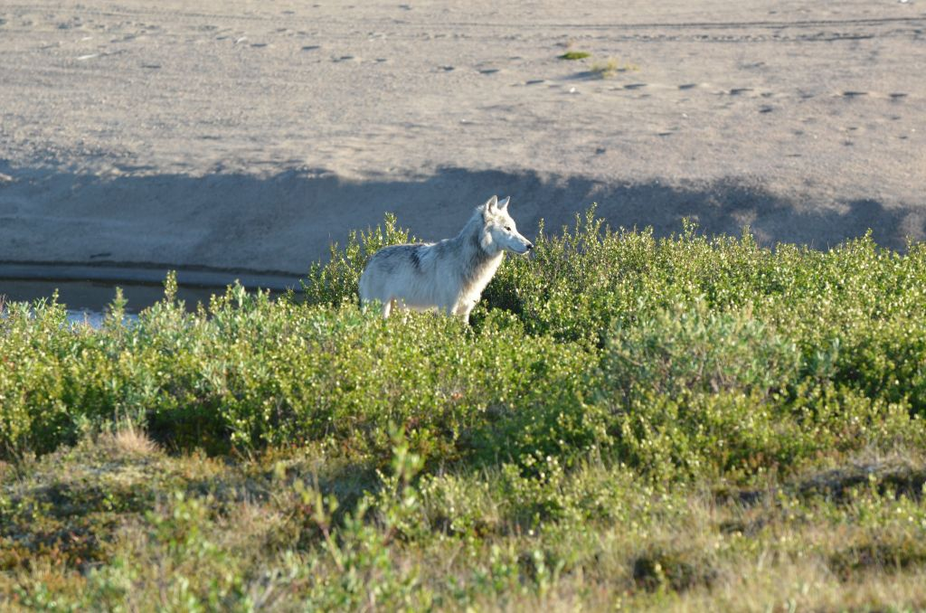 A white with grey lone Arctic Wolf posed in it's natural environment, on a sand esker in Canada's Northwest-Territories