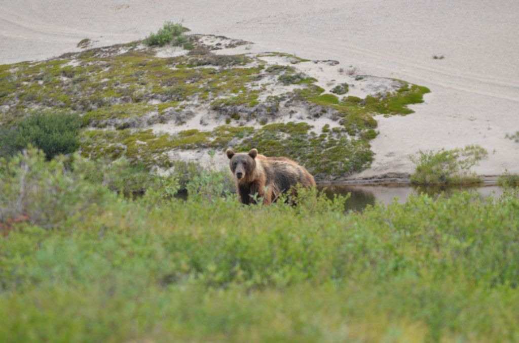 A Barrenground Grizzly-Bear in natural environment amongst the dwarf birch in the summer - Canada's Northwest Territories