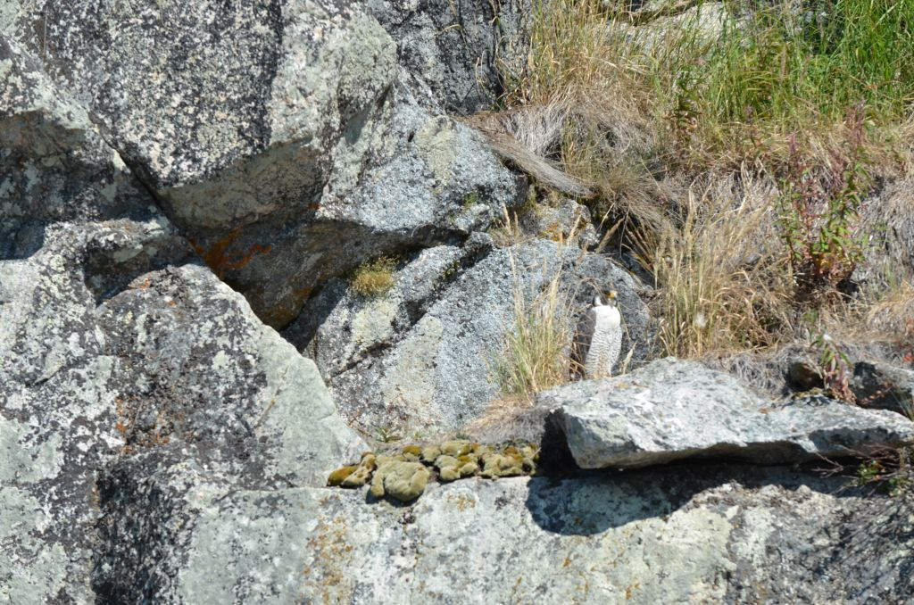 Peregrine Falcon on Cliff Edge, grasses creating additional camouflage as does its colour that blends with the rocks
