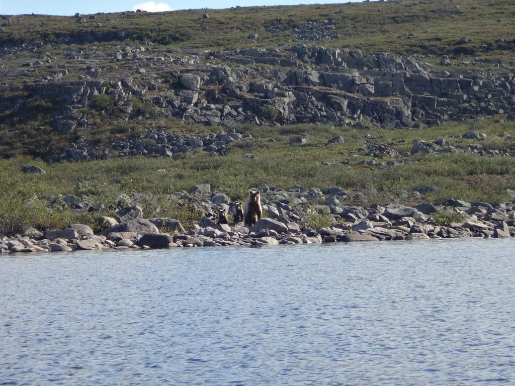 Sow Grizzly Bear standing up with her two cubs on rocky lake of shoreline