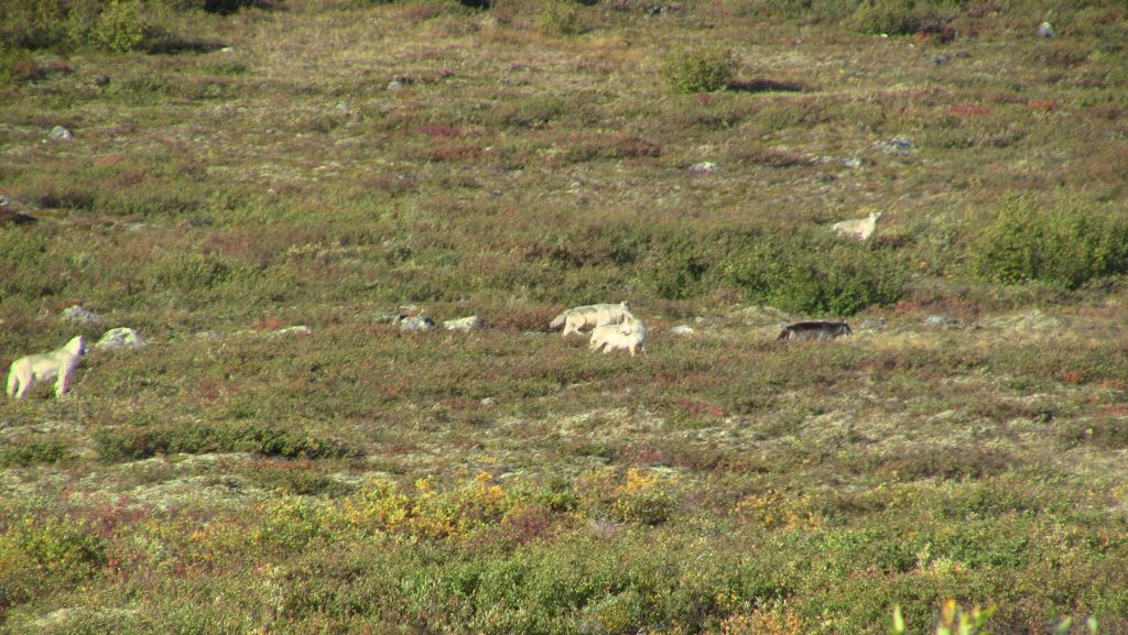 Arctic wolf pack on the move