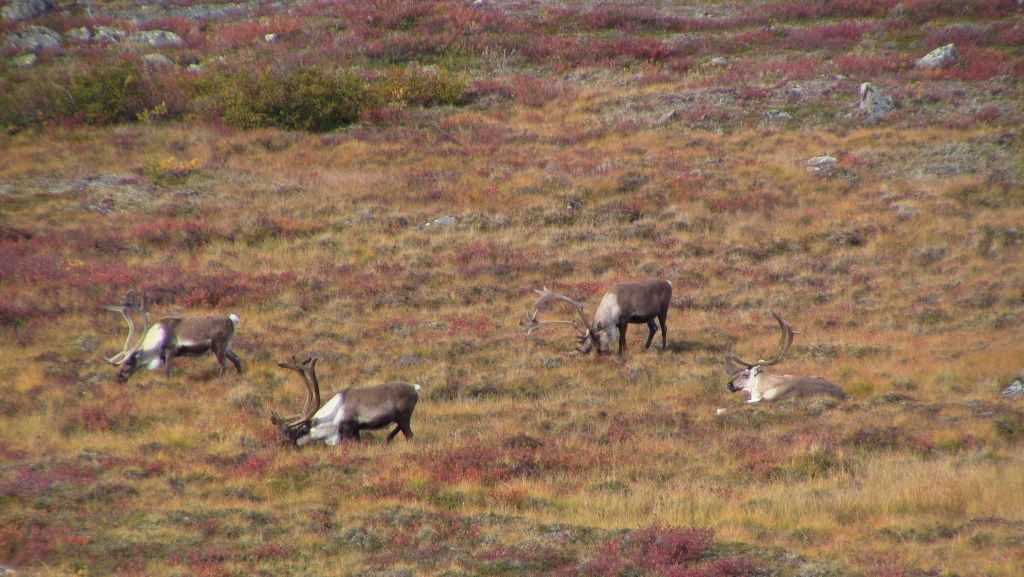 Autumn on the barrens with Barrenground Caribou stopping to forage