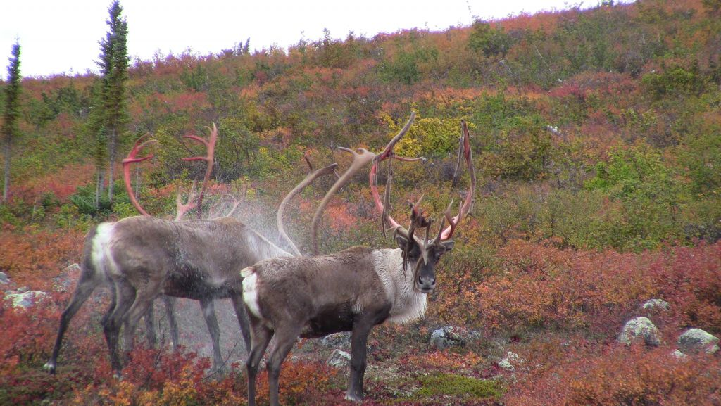 Caribou shaking water off after swimming in Point Lake with their velvet shedding off their antlers in fall colours