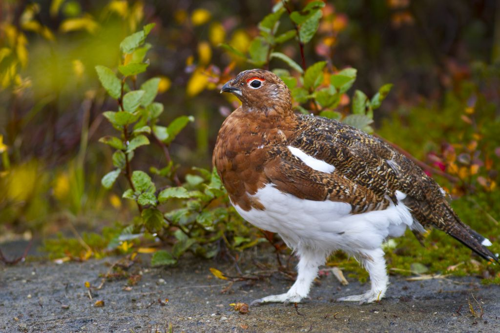Ptarmigan turning colours from summer to winter