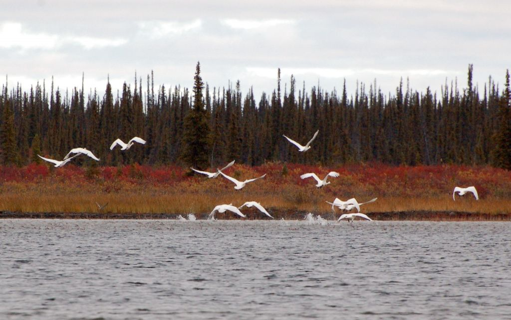 Lake in foreground, fall colours with coniferous trees in background with a flock of tundra swans taking flight