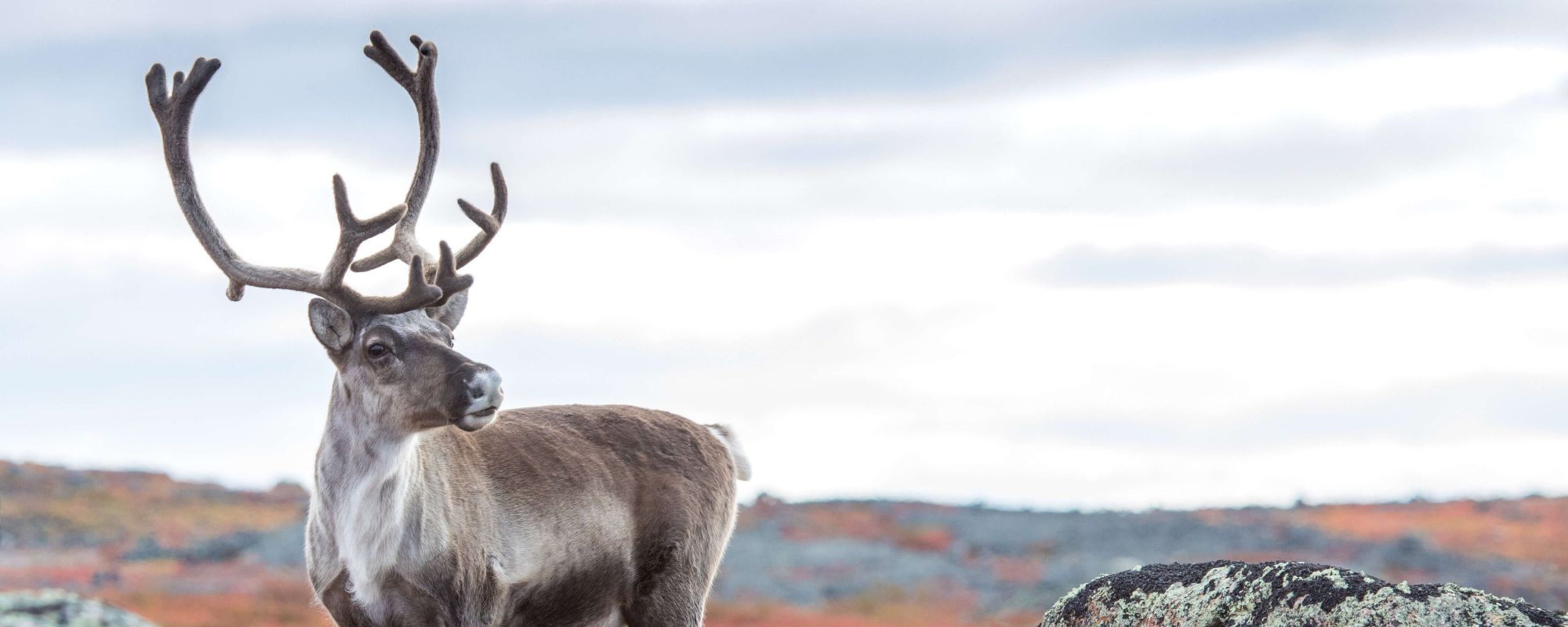 Bull caribou on barrens in autumn colours