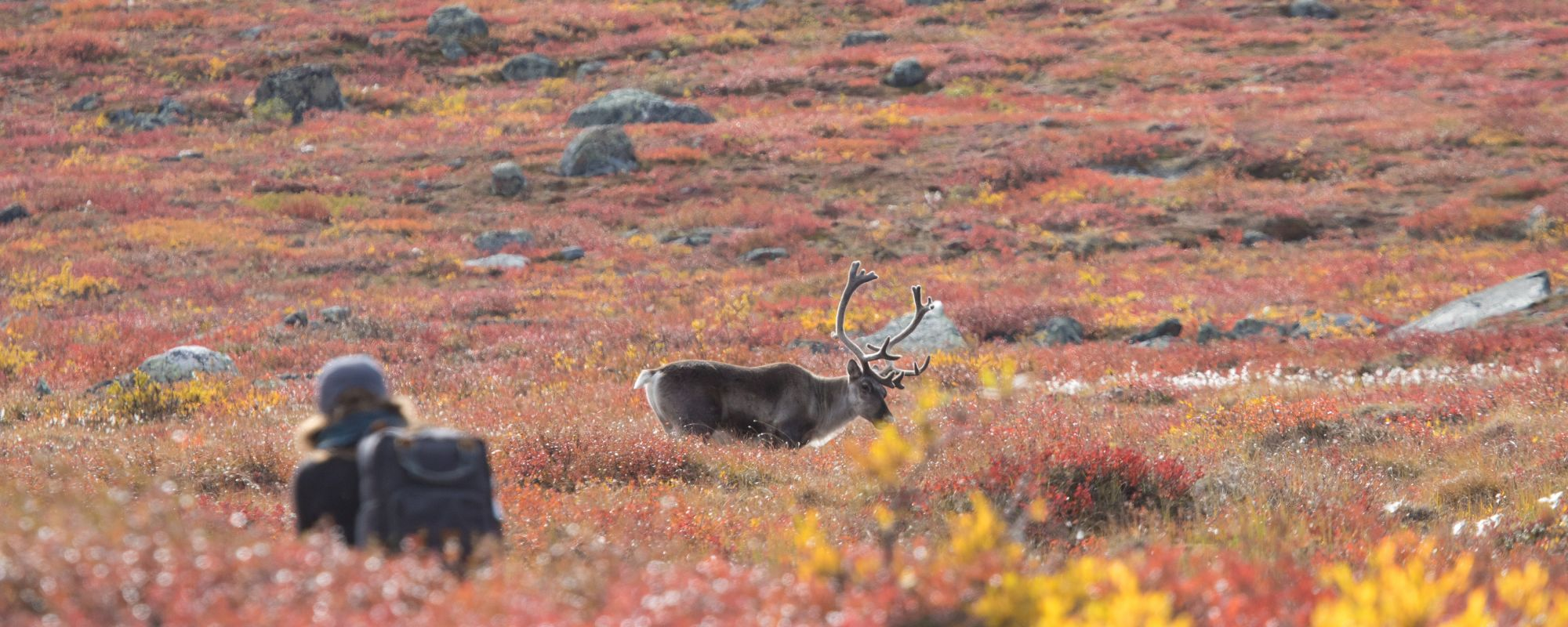person squatted down watching a caribou in the barrens with fall colors